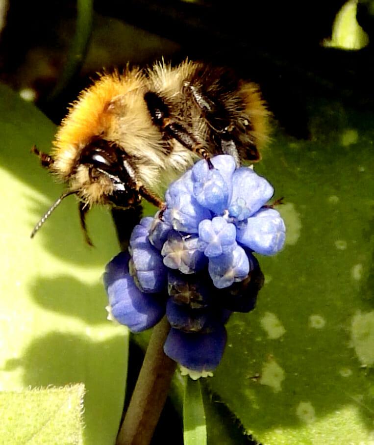 Bijen en hommels tuinliefde, Bienen und Hummeln Gartenliebe, (bumble)bees gardenlove
