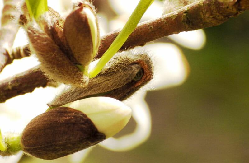 Magnolia flower with a soft bokeh , Magnoliabloem met een zachte bokeh, Magnolienblüte mit einem weichen Bokeh