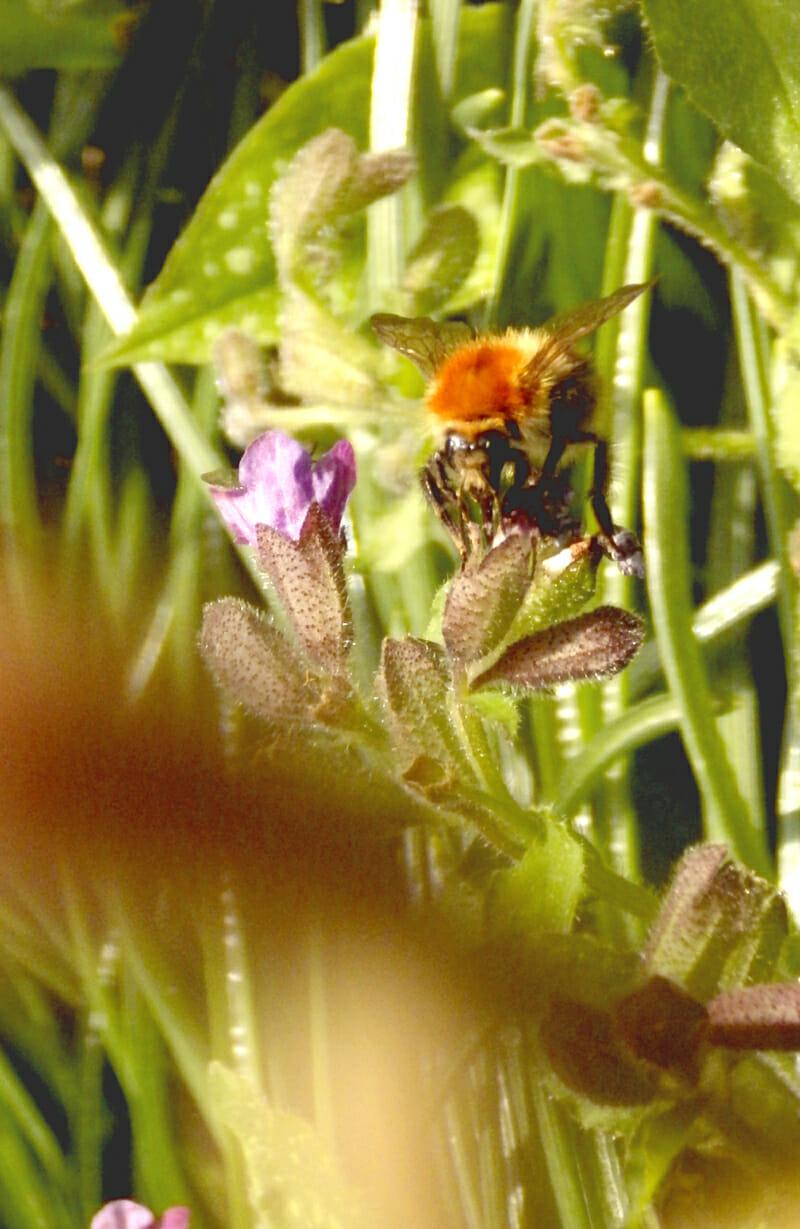 bijen, hommels, bienen, Hummeln, (bumble)bees