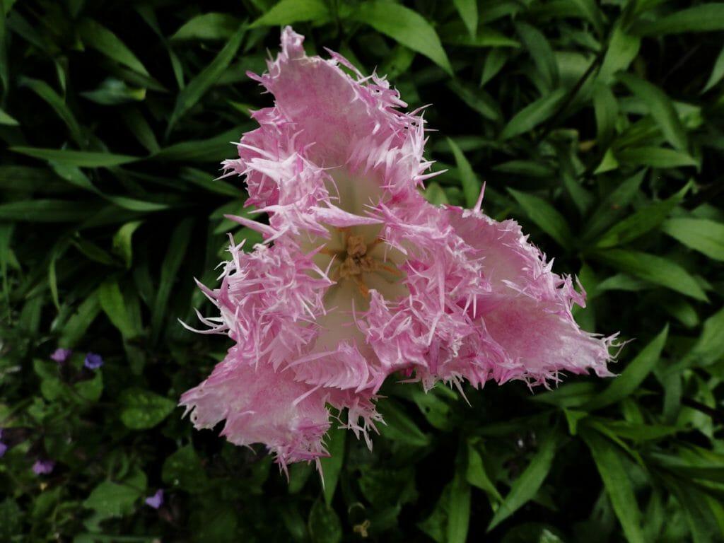 Tuinfotografie, Natuurfotografie Tulp