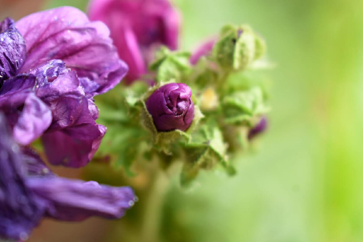 Malva kaasjeskruid Fotografie bloemen tuin