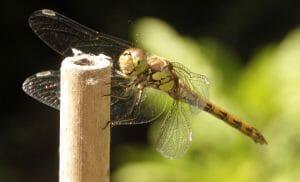 bruinrode heidelibel, grosse heidelibelle, commom darter, SYMPETRUM STRIOLATUM Familie: korenbouten (Libellulidae). Onderfamilie: Sympetrinae Genus: Sympetrum Onderorde : echte libellen - Anisoptera